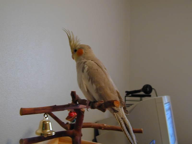 Cockatiel colors - photo#18