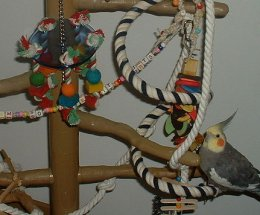 Cockatiels climbing a tree with hanging toys