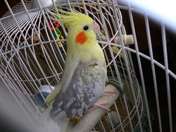 A pet cockatiel