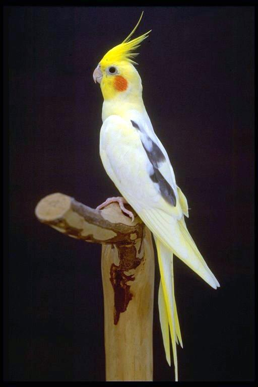 free downloading pics of animal cockatiel
