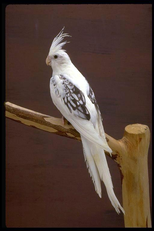 White Faced Cockatiel